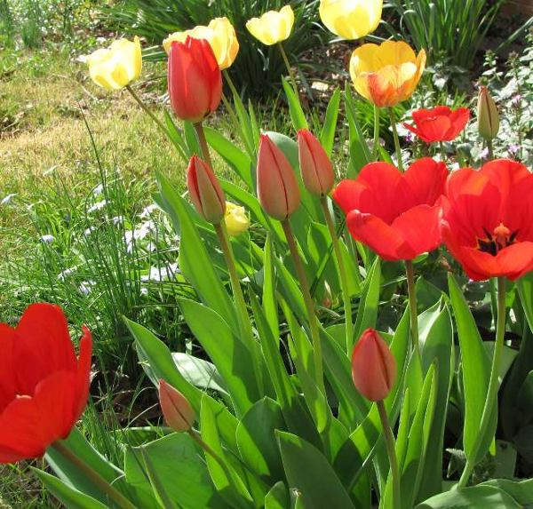 photo of tulips in the front yard